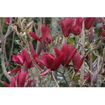 Магнолия Лілієфлора Nigrа 2 годовая, Магнолия лилиецветная Нигра, Magnolia liliiflora Nigra