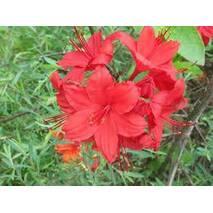 Рододендрон листопадний Doloroso 3 річний, Рододендрон листопадный Долоросо, Azalea Doloroso