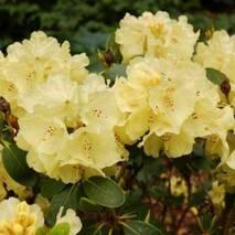 Рододендрон гібридний Goldkrone 3 річний, Рододендрон гибридный Голдкрон, Rhododendron Goldkrone