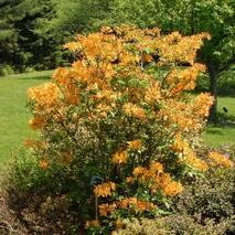 Рододендрон листопадний Golden Lights 3 річний, Рододендрон листопадный Голден Лайт, Azalea Golden Lights