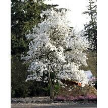 Магнолия Кобус из семян 2 годовая, Магнолия Кобус из семян,  Magnolia kobus