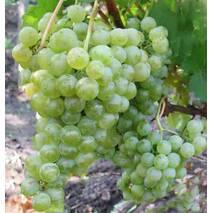 Виноград сорт Цитронный Магарача
