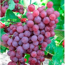 Саджанці винограду сорт Пам'яті учителя