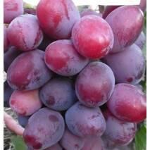 Саджанці винограду сорт Єверест
