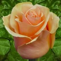 Троянда чайно-гібридна Версилия