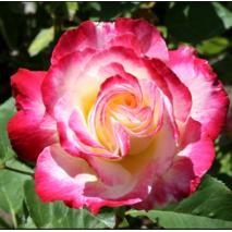 Саджанці троянд сорт Double Delight (Дабл Делайт)