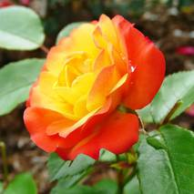 Саженцы плетистой розы сорт Румба