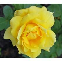 Саджанці троянд сорт Санблест