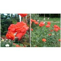 Саджанці троянд сорт Angelique (Анджели)