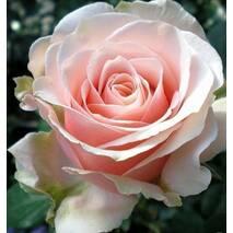Троянда чайно-гібридна Маджестик