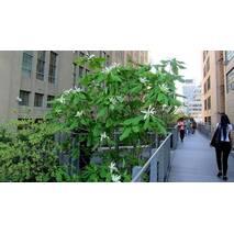 Магнолія Трипелюсткова / Трьохпелюсткова 1 рік, Магнолия трехлепестная / зонтичная, Magnolia tripetala