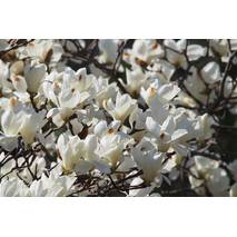 Магнолия Обнажена 2 годовая, Магнолия Обнаженная, Magnolia denudata