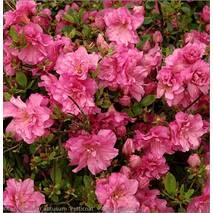 Азалія японська Petticoat 4 річна, Азалия японская /рододендрон Петтикоат, Azalea japonica Petticoat