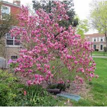 Магнолия Лілієфлора 2 годовая, Магнолия Лилиецветная, Magnolia liliiflora