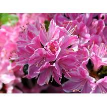 Азалия японская Kermesina Rosea 3 годовая, Азалия японская Кермезина Розеа, Azalea japonica Kermesina Rosea