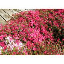 Азалія японська Canzonetta 4 річна, Азалия японская / рододендрон Канзонетта, Azalea japonica Canzonetta