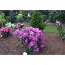 Рододендрон гібридний Boleslaw Chrobry 2 річний, Рододендрон гибридный Болеслав Хробры Rhododendron Royal lila