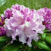 Рододендрон якушиманський Caroline Allbrook 2 річний, Рододендрон якушиманский Каролина Олбрук, Rhododendron