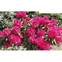 Рододендрон гібридний Nova Zembla 5 річний 50-60см, Рододендрон гибридный Нова Зембла Rhododendron Nova Zembla