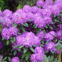 Рододендрон гібридний Alfred 2 річний, Рододендрон гибридный Альфред, Rhododendron Alfred