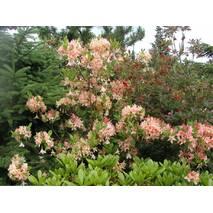 Рододендрон листопадний Chanel 3 річний, Рододендрон листопадный Шанель, Rhododendron Chanel