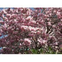 Магнолия Суланжа Розовая из семян 1 годовая, Магнолия Суланжа Розовая из семян, Magnolia X soulangeana