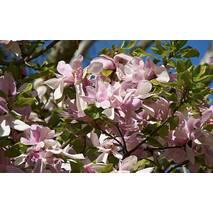 Магнолия pinkie 2 годовая, Магнолия Пинки, Magnolia pinkie