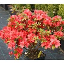 Азалія японська Signalgluhen 3 річна, Азалия японская Сигналглюхен, Azalea japonica Signalgluhen