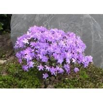 Рододендрон щільний Buchlovice 3 річний, Рододендрон плотный Buchlovice, Rhododendron Buchlovice