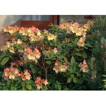Рододендрон гібридний Flautando 3 річний, Рододендрон гибридный Флаутандо, Rhododendron Flautando