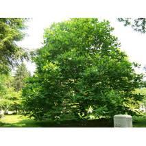 Магнолия Крупнолистна / Великолистна 2 годовая, Магнолия крупнолистная, Magnolia macrophylla