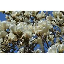 Магнолия Суланжа Билла из семян 2 годовая, Магнолия Суланжа Белая из семян, Magnolia X soulangeana