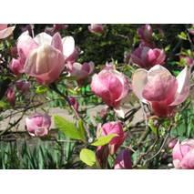 Магнолия Суланжа Verbanica 2 годовая, Магнолия Суланжа Вербаника, Magnolia X soulangeana Verbanica