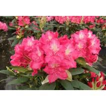 Рододендрон гібридний Jan III Sobieski 2 річний, Рододендрон гибридный Ян III Собески Rhododendron Jan