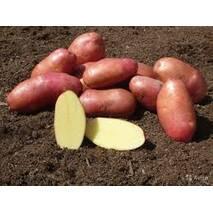 Картопля  Крістина 1 репродукція 5кг.