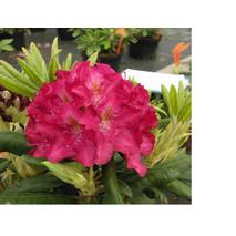 Рододендрон гібридний Кazimierz Wielki 2 річний, Рододендрон гибридный Казимир Виелки, Rhododendron Кazimierz