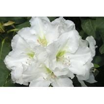Рододендрон гібридний Еskimo 3 річний, Рододендрон гибридный Ескимо, Rhododendron hybrid Еskimo