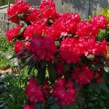 Рододендрон гібридний Halfdan Lem 3 річний, Рододендрон гибридный Халфдам Лем, Rhododendron Halfdan Lem