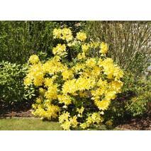 Рододендрон листопадний Anneke 2 річний, Рододендрон листопадный Аннеке, Rhododendron Anneke