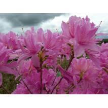 Рододендрон листопадний Western Lights 2 річний, Рододендрон листопадный Вестерн Лайтс, Rhododendron Western