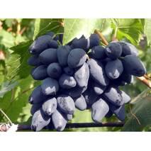 Виноград Ромбик (ІВН-96)