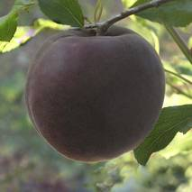 Абрикос Черный Персиковый (ІАБ-64)