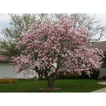 Магнолия гибридная Betty 2 годовая, Магнолия гибридная Бетти, Magnolia hibrida / hybrids Betty