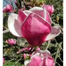 Магнолия Суланжа Rustica Rubra 3 годовая 0,8-1,2м, Магнолия Суланжа Рустика Рубра, Magnolia soulangeana Rustica