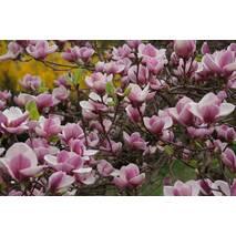 Магнолия Суланжа Розовая из семян 3 годовая 0,6-0,8м, Магнолия Суланжа Розовая из семян, Magnolia X soulangeana