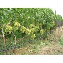 Саджанці винограду Аркадія