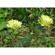 Саджанці троянд Лимбо
