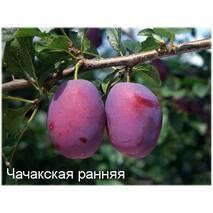 Саджанці сливи Чачакская Рання