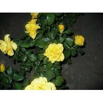 Саджанці троянд Керио