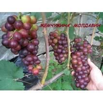 Саджанці винограду Перлина Молдавії